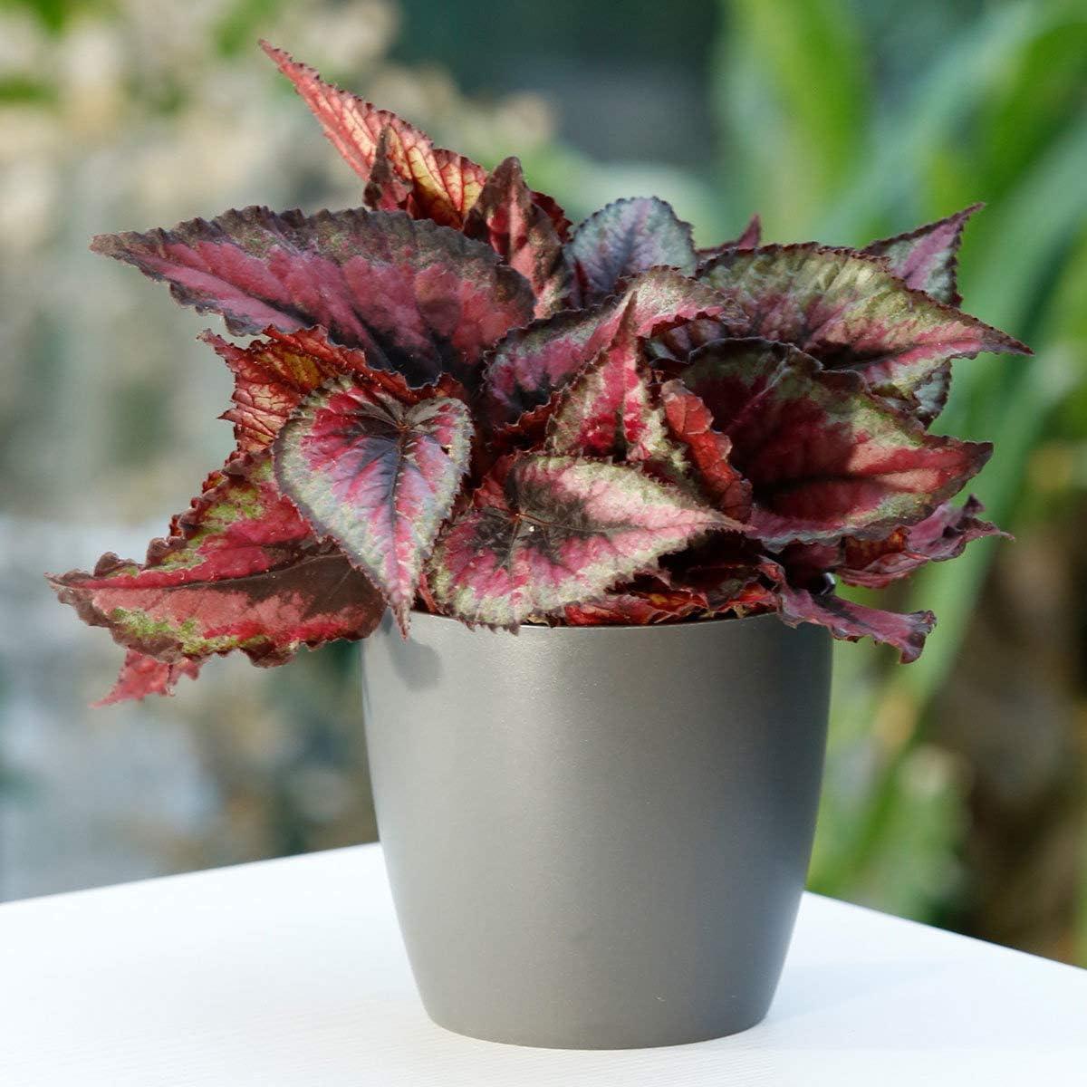 Amazon Com Bio Garden Rare 10pcs Painted Leaf Begonia Rex