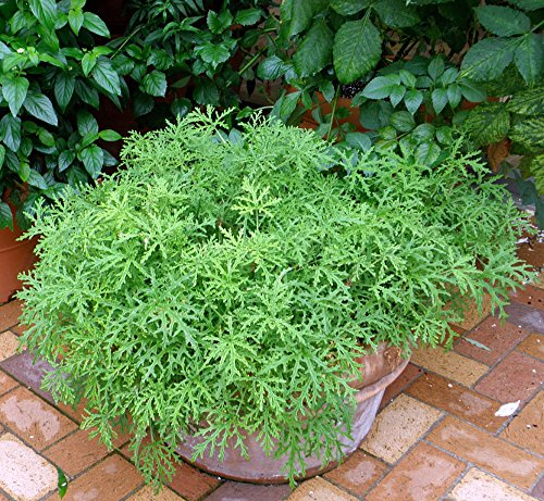 Citronella Mosquito Plant Pelargonium West Nile Virus