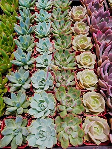 Fat Plants San Diego Mini Rosette Succulent Plants in Growers Pots by Fat Plants San Diego (Image #10)