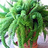 Foxtail Fern Seeds (Asparagus aethiopicus) 10+ Rare Tropical Plant Seeds + FREE Bonus 6 Variety Seed Pk - a $29.95 Value! Packed in FROZEN SEED CAPSULES for Growing Seeds Now or Saving Seeds for Years