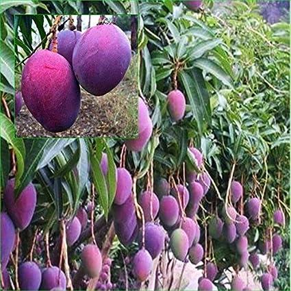 Sane Distributors Exotic Rare Dwarf Thailand Red Mango Live