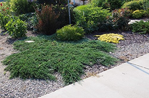 Blue Rug Juniper - 15 Live Plants - 4'' Container Low Maintenance Evergreen Ground Cover by Florida Foliage (Image #3)