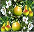 European Pear, Domestic Pear TREE Seed SEEDS - Pyrus communis - Self Fertile Plant - COLD HARDY TO ZONE 4 - By MySeeds.Co
