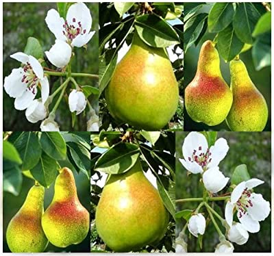 10 European Pear, Domestic Pear TREE SEEDS - Pyrus communis COLD HARDY TO ZONE 4