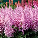 1 Root Astilbe Chinensis 'Ice Cream' Rare Perennial Shade Plant Flower Bulb Large Roots