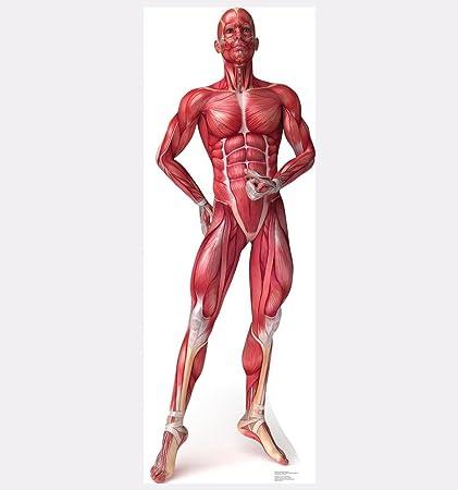 Amazon.com: Anatomy Muscle System - Advanced Graphics Life Size ...