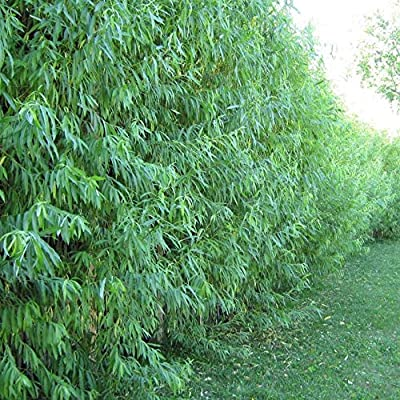 AchmadAnam - Live - 30 Austree Hybrid Willow Tree Cuttings - Fast Growing Privacy or Shade - Easy to Grow. E16 : Garden & Outdoor