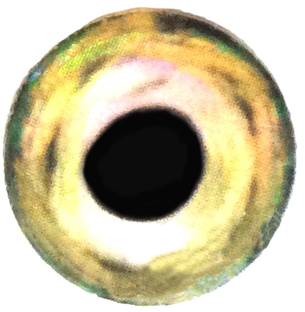 Brule 3-D Hard Epoxy Eyes (GreenShimmer, 12.7mm) by Brule Outdoors