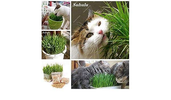 AGROBITS Venta de 1000 unidades del gato hierba Bonsai hierba comestible vegetal limoncillo Cocina Planta de tiesto Uso Graines legumbres Potager gratuito: ...