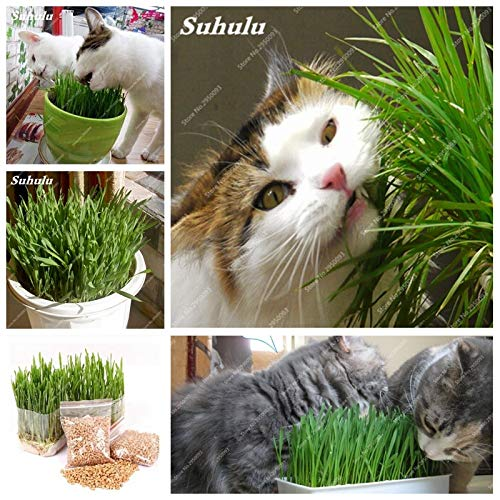 Sale 1000 Pcs Cat Grass Bonsai Herb Edible Lemongrass Kitchen Vegetable Potted Plant Medicinal Use Graines Legumes Potager Free