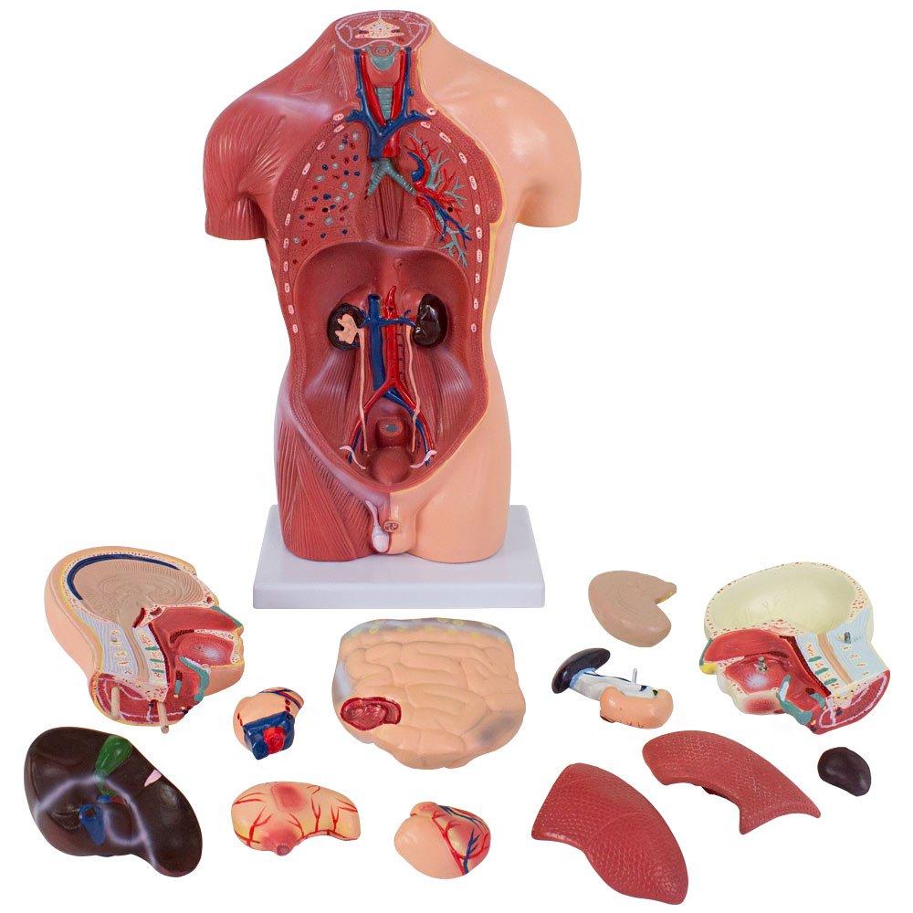 Mann Anatomiemodell Medizinisches Anatomie Modell Torso 43 cm 13 ...