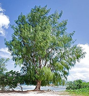10 Seeds Casuarina equisetifolia Horse Tail She-Oak, Australian Pine Tree