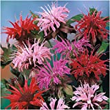 Package of 300 Seeds, Panorama Mixed Bee Balm (Monarda didyma) Non-GMO Seeds by Seed Needs