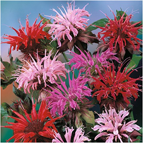 package-of-300-seeds-panorama-mixed-bee-balm-monarda-didyma-non-gmo-seeds-by-seed-needs