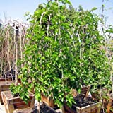 Fresh - Weeping Mulberry - Non GMo - Seeds (20)