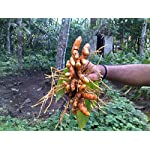 Turmeric (rhizome) Grow Your own ,Grow Indoors or Outdoors
