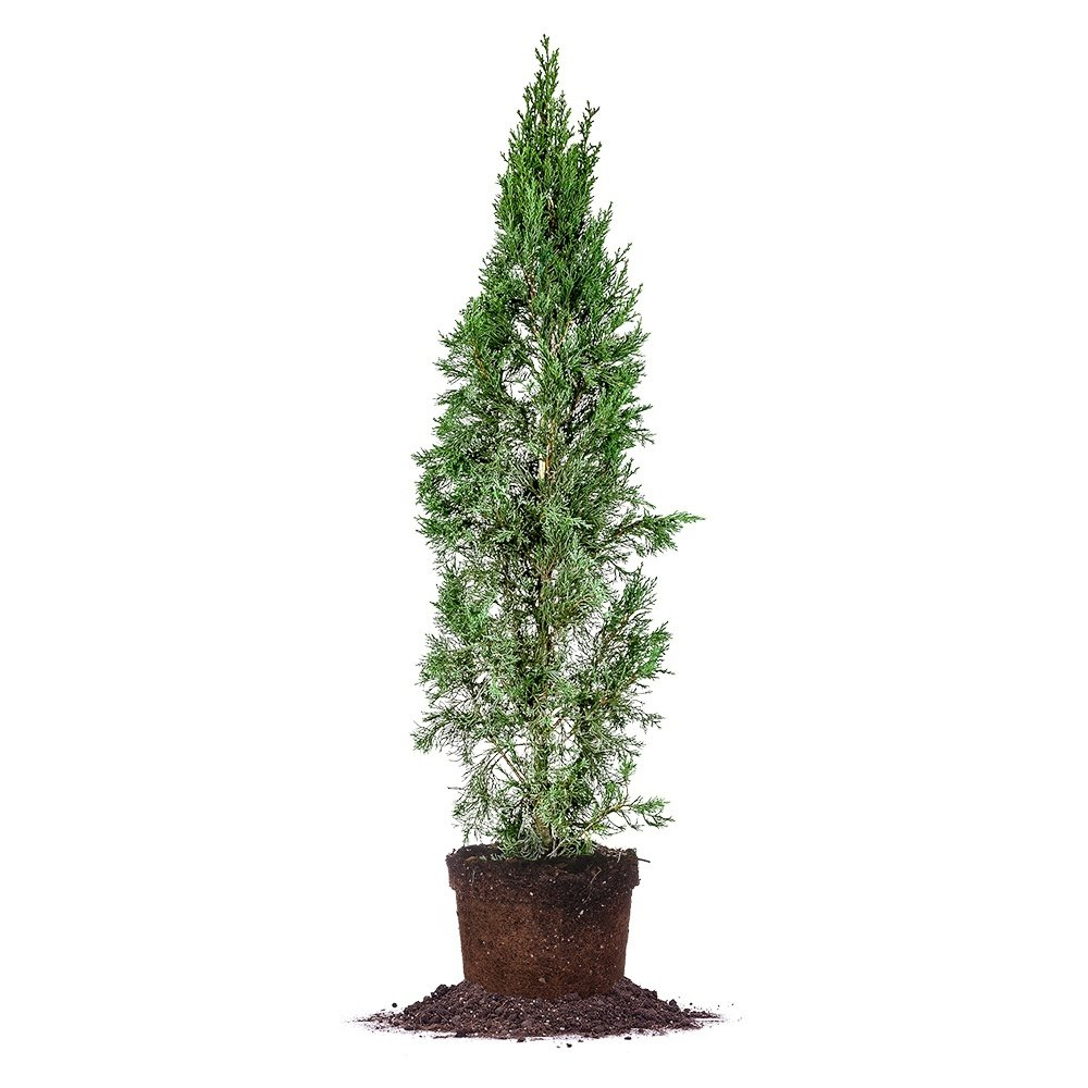 ITALIAN CYPRESS - Size: 5-6', live plant, includes special blend fertilizer & planting guide