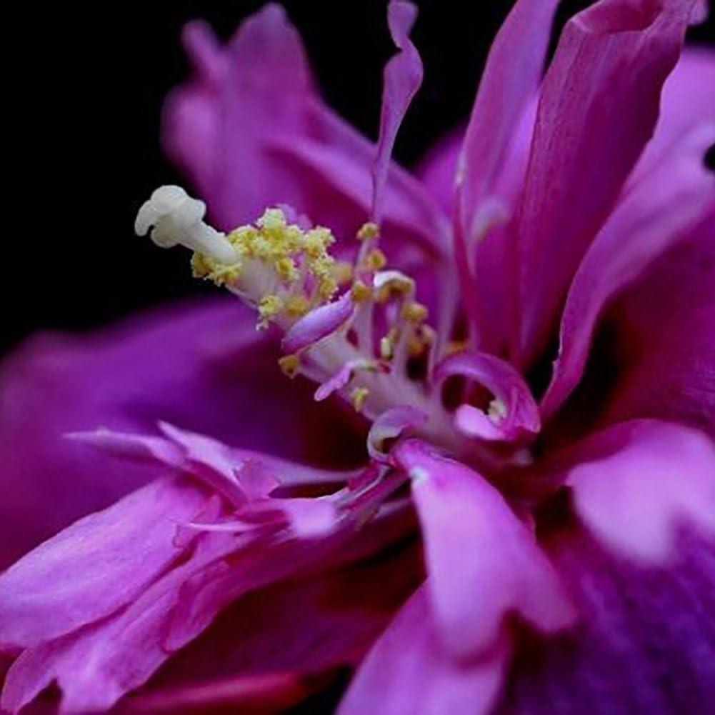 lamta1k 100Pcs Rare Hibiscus Gigante Exóticas Semillas de Coral Home Garden Flores Decoración Calidad de la Planta y Alta tasa de Supervivencia - Purple Hibiscus Seeds