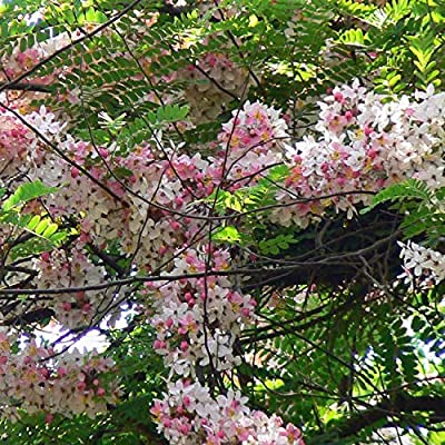 Cassia grandis Pink Shower Tree Light Pink Flowers Seeds! : Garden & Outdoor