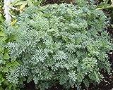 Garden Rue (Ruta Graveolens L.) Flower Plant Seeds, Perennial Evergreen Heirloom
