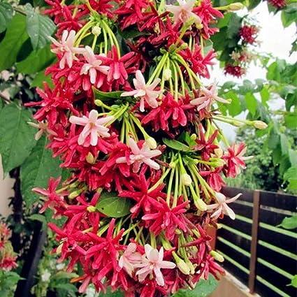 Heirloom Quisqualis 50 seeds Rare Quisqualis Plant,Bonsai Flower,NIX Colours
