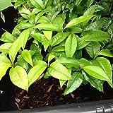 1 Live purple Star Apple Caimito Chrysophyllum Fruit Plant, Cay Vu Sua 3 To 6 Inches