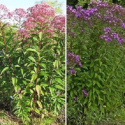 Amazon 100 seeds of ironweed joe pye weed eupatorium 100 seeds of ironweed joe pye weed eupatorium fistulosum 50quot tall mightylinksfo