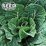 Vates Collard Green Seeds - 500 Seeds Non-GMO