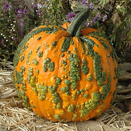 Pumpkin Warty Goblin - Vegetable Seeds - Farmore Treated Seed - 1,000 Seeds by HARRIS MORAN