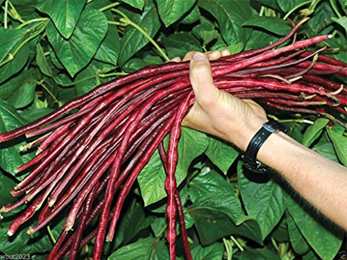 100 Yard-long bean,Chinese Red Noodle Pole Bean/Seeds/Heirloom , Non Gmo !