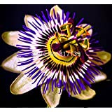New Arrival 10 Seeds Home Garden Blue Crown Passion Flower Vine Fruit Passiflora Caerulea Seeds Free Shipping