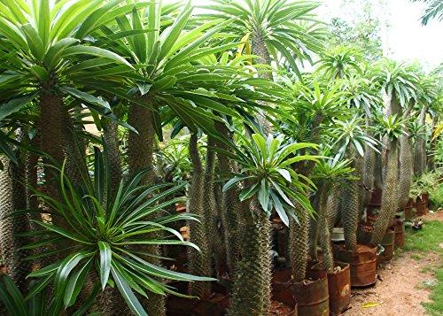 SAFLAX - Palma del Madagascar - 10 semi - Pachypodium lamerei ...