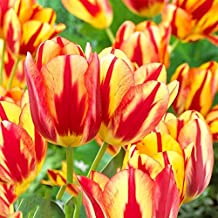 Afco 3Pcs Variety Tulip Bulbs Flower Seeds Home Garden Plant Bonsai Decor size 3pcs Yellow and Red Tulip Bulbs (Red+yellow)