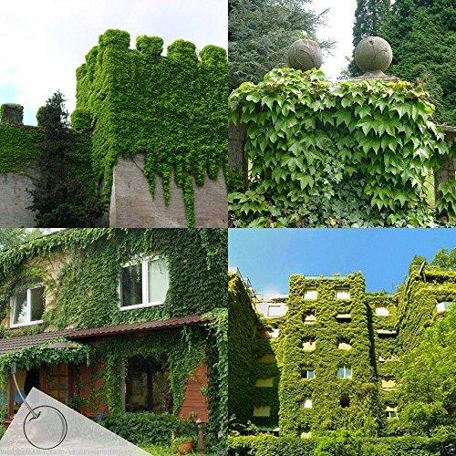 100 Boston IVY Seeds,parthenocissus Tricuspidata , Fast Growing Vine/climber !
