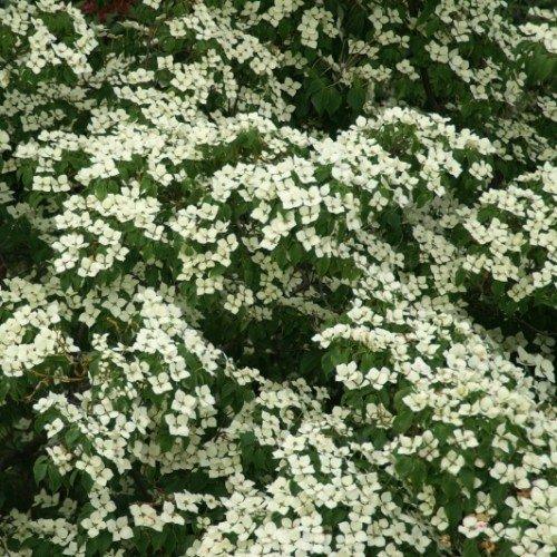 Chin.Blumen-Hartriegel 'Chinensis' 40/60 cm 5L Co.