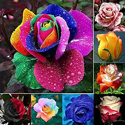 Caiuet Seeds- Rainbow Rose Seeds Perennial Hardy Fragrant Rose Seeds Flowers Seeds for Balcony, Garden : Garden & Outdoor