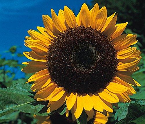 SeeKay Sunflower Giant Yellow Single 300 seeds - Annual