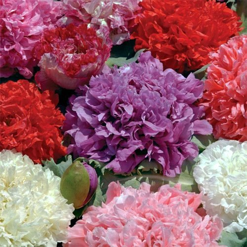 (Outsidepride Peony Double Flower Seed Mix - 5000 Seeds)