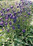 Campanula (Bellflower) collina 1,000 seeds