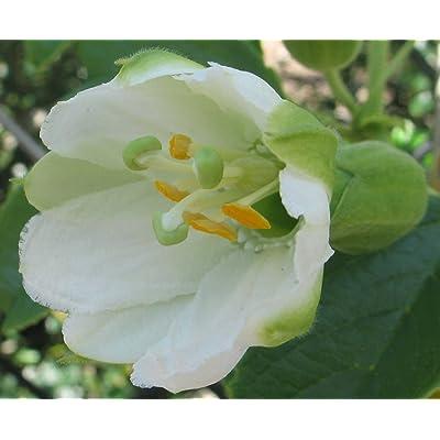 Passiflora mathewsii alba | 10_Seeds : Garden & Outdoor