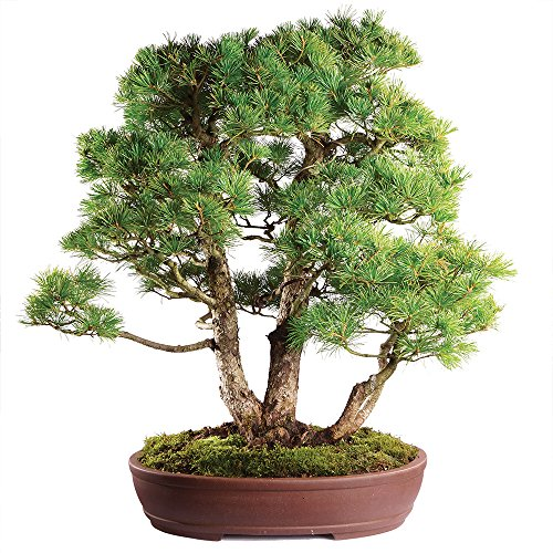 (Brussel's Live Japanese Five Needle Pine Specimen Outdoor Bonsai Tree - 40 Years Old; 27