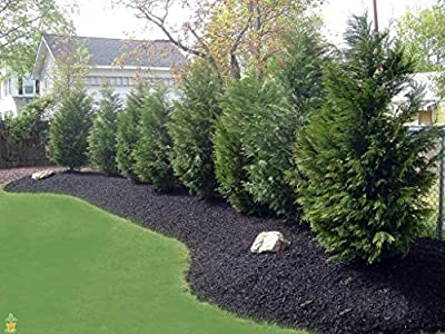 Leyland Cypress Tree 2-3ft (Cupressocyparis leylandii) Potted Plant Fast Growing Evergreen Privacy Screen