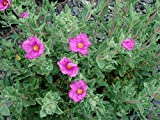 Magenta Rock Rose Aka Cistus 'Sunset' Live Plant Shrubs Plant Fit 01 Gallon Pot