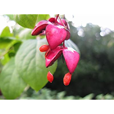 Scarlet Euonymus, Euonymus sachalinensis, Shrub Seeds (Fall Color, Showy) (100) : Garden & Outdoor