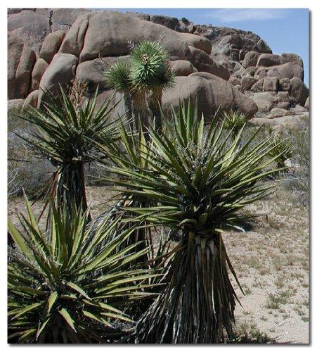 Yucca schidigera seeds (Yucca Anti Inflammatory)