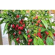 YakovSeeds - Carolina Reaper Pepper Seeds - 10 Seeds Pack - Hottest Chili Pepper in the World - Organic, Non - GMO