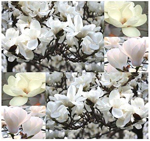 Magnolia Yulan (Yulan Magnolia, Magnolia denudata, Tree Seeds SHOWY FRAGRANT FLOWERS - Zone 6-9)