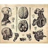 "16"" x 20"" Vintage Anatomy Print Human Nervous System Brains Reproduction Poster"