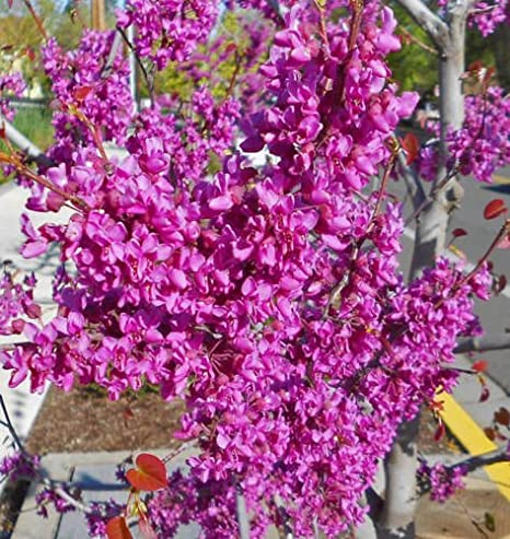 Amazon eastern redbud tree bright pink flowers zones 4 8 eastern redbud tree bright pink flowers zones 4 8 14 to 16quot mightylinksfo