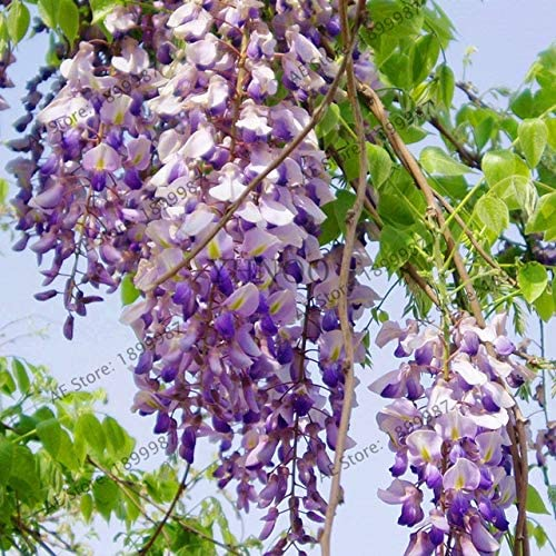 10PCS Rare Dahlia Seeds Bonsai Plant Tree House Herb Garden Flower Pot Decor
